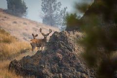 Гигантский самец оленя на холме стоковое фото rf