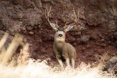 Гигантский самец оленя перед утесом стоковые изображения rf