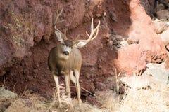 Гигантский самец оленя перед утесом стоковая фотография