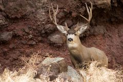 Гигантский самец оленя перед утесом стоковое изображение rf