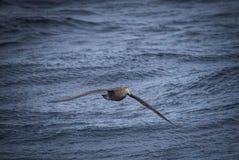 Гигантский северный буревестник летает низко к кораблю воды следовать Стоковое Фото