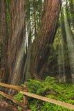 гигантский солнечний свет секвойи sempervirens redwoods до конца Стоковые Изображения