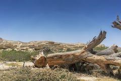 Гигантский ствол дерева упаденный в оазис пустыни Namibe вышесказанного anisette стоковые фото