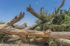 Гигантский ствол дерева упаденный в оазис пустыни Namibe вышесказанного anisette стоковое фото
