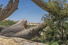 Гигантский ствол дерева упаденный в оазис пустыни Namibe вышесказанного anisette стоковая фотография rf