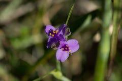 Гигантский стручок цветеня Spiderwort Стоковые Фотографии RF
