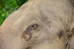 Гигантский слон Стоковое фото RF