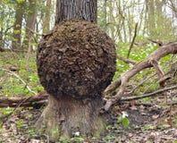 Гигантский узелок на хоботе белого дуба в лесе весны стоковые фото