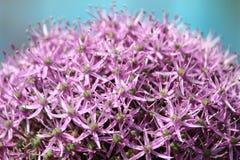 Гигантский цветок onium Стоковое Изображение