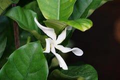 Гигантский цветок Pinwheel Стоковое Фото