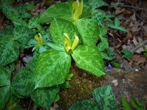 Гигантский цветок Trillium - Trillium Chloropetalum стоковое изображение rf