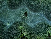 Гигантский clam с клапаном необыкновенного сердца форменным Стоковое Изображение
