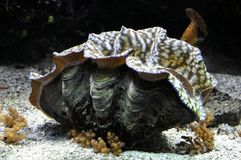 Гигантский clam Стоковое Изображение RF