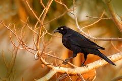 Гигантский Cowbird, oryzivorus Molothrus, черная птица от Бразилии в среду обитания дерева Сцена живой природы от природы cowbird Стоковые Изображения RF