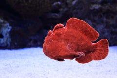 Гигантский frogfish Стоковые Фото