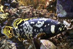 гигантский grouper Стоковая Фотография RF