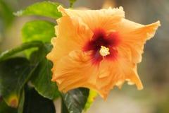 гигантский hibiscus Стоковая Фотография RF