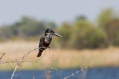 Гигантский Kingfisher на терновой ветви стоковое изображение rf