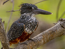 гигантский kingfisher Стоковое Фото