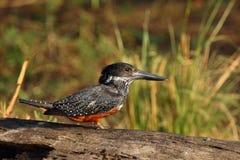 гигантский kingfisher Стоковое Изображение RF