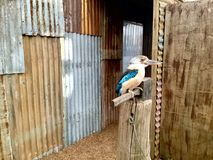 гигантский kingfisher australites Стоковые Изображения