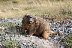 гигантский marmot Стоковая Фотография