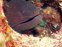 гигантский moray Стоковые Изображения RF