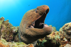 гигантский moray Стоковое Изображение