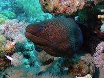 гигантский moray Стоковое Фото