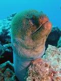 гигантский moray Стоковые Фотографии RF