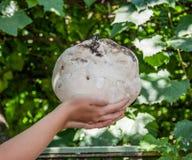 Гигантский puffball съестной и целебный гриб Стоковые Фотографии RF