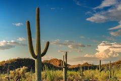 Гигантский Saguaro на заходе солнца в национальном парке Saguaro, около Tucson Стоковое Изображение