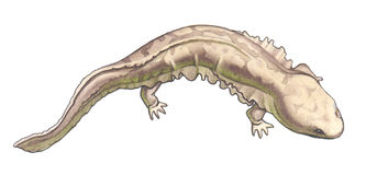 гигантский salamander бесплатная иллюстрация