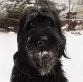 гигантский schnauzer Большая черная собака на снеге стоковая фотография rf
