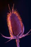гигантский thistle Стоковая Фотография RF