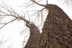 2 гигантских дерева в зиме Стоковое Изображение