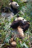 2 гигантских панды лежа вниз на бамбуке Стоковые Фото