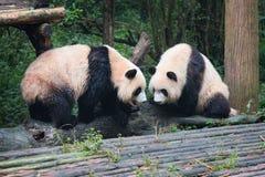 2 гигантских панды смотря один другого Стоковые Изображения RF