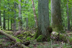 2 гигантских старых дуба Стоковое Фото