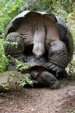 2 гигантских черепахи делая влюбленность острова galapagos океан pacific эквадор Стоковые Изображения RF