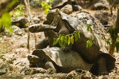 2 гигантских черепахи сопрягают Стоковые Изображения