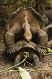 2 гигантских черепахи сопрягают Стоковое Фото
