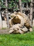 2 гигантских черепахи Стоковое Фото