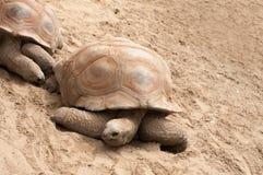 2 гигантских черепахи Стоковая Фотография