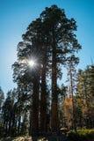 3 гигантских redwoods в национальном парке секвойи, Калифорнии, США Стоковое Изображение
