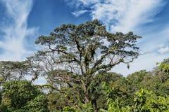Гигантское африканское дерево, растет в тропическом климате, с грибком стоковое фото rf