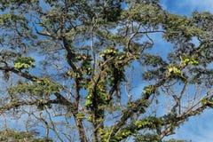 Гигантское африканское дерево, растет в тропическом климате, с грибком стоковая фотография rf
