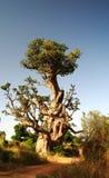Гигантское дерево баобаба стоковые фото