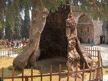 Гигантское дерево, гигантское отверстие Стоковые Фото