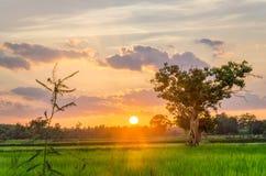 Гигантское дерево и Солнце Стоковые Фото